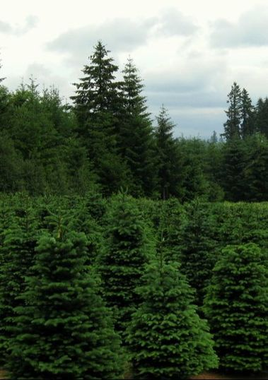 Sustainable Christmas Tree Growing Field